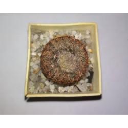Frailea afilarensis