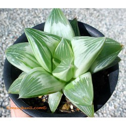 Haworthia 'Milky Way'