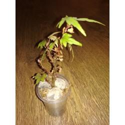 Бегония Begonia partita