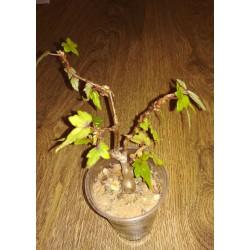 Бегония Begonia partita двойная