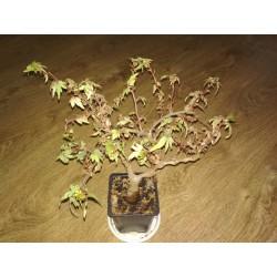 Бегония Дрега Begonia dregei