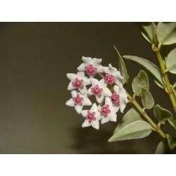 Hoya Bella variegata черенок