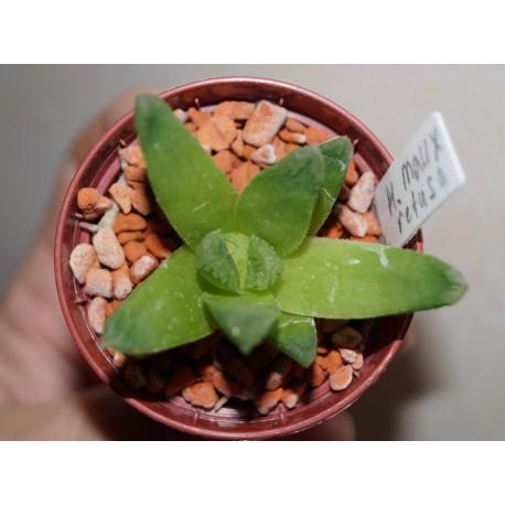 Haworthia maughanii x retusa