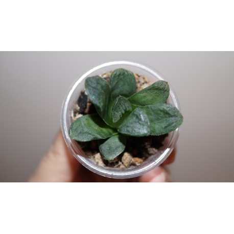 Haworthia truncata гибрид