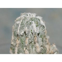 Astrophytum fukuryu