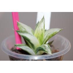 Haworthia magnifica variegata