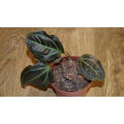Monolena primuliflora Монолена примулоцветная