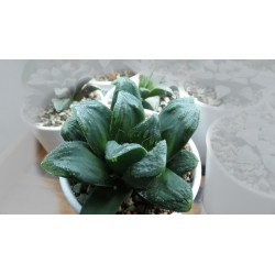 Haworthia truncata х pygmea