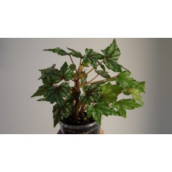 Бегония каудексная пятнистая Begonia