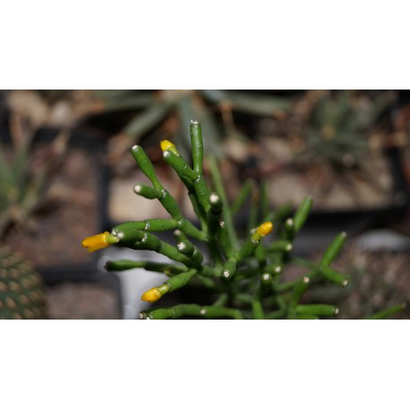 Хатиора Hatiora salicornioides