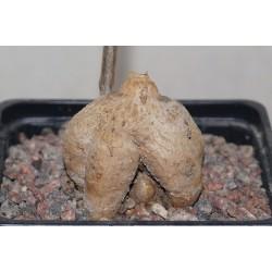 Monadenium invenustum