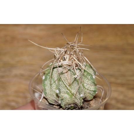 Astrophytum capricorne  Weisse Stachel