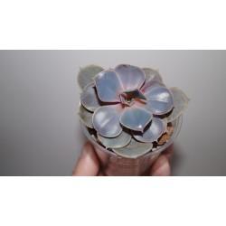 Echeveria 'Perl von Nurnberg'