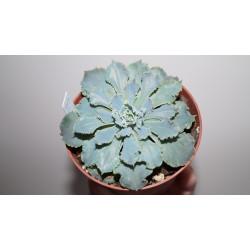 Echeveria shaviana 'Blue Curls'