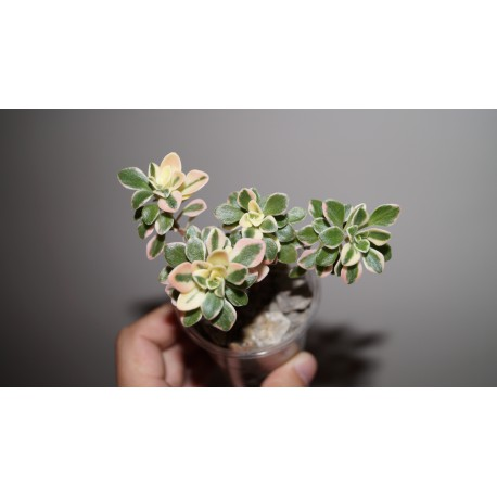 Aeonium domesticum variegata