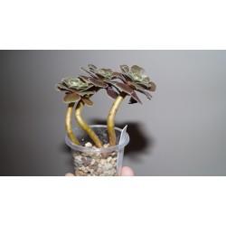 Aeonium Velour многоголовый