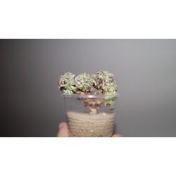 Aeonium decorum cristata
