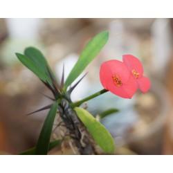Euphorbia milii - Молочай Миля