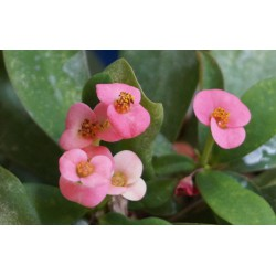 Euphorbia milii Pink  - Молочай Миля