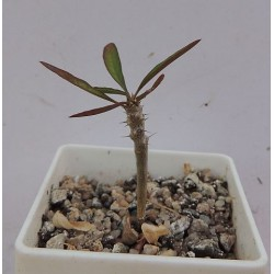 Euphorbia sakarahaensis / Галерея
