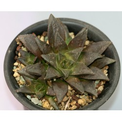 Haworthia Chocolate x Black major - детка