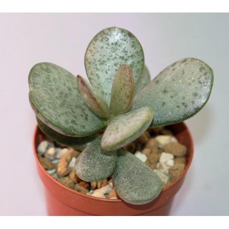 Adromischus montium-klinghardti