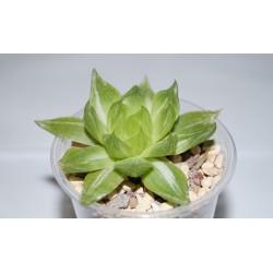 Haworthia Omichka variegata