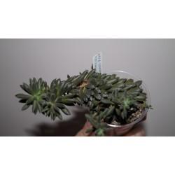 Crassula yunanensis cristata