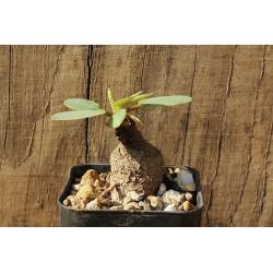 Euphorbia primulifolia ZZ