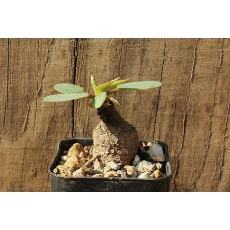 Euphorbia primulifolia v. primulifolia