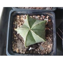 Astrophytum myriostigma Kikorampo