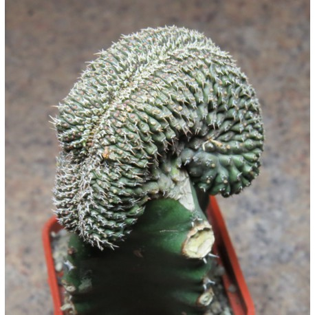 Euphorbia phillipsioides cristata