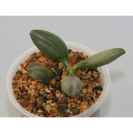 Adromischus kubusensis