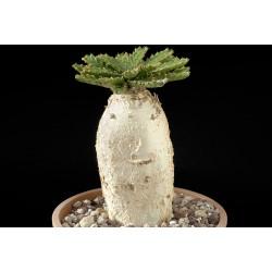 Euphorbia stellata 3