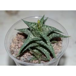 Aloe descoingsii детка