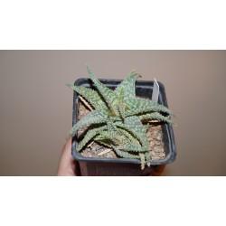 Aloe Christmas Carol гибрид