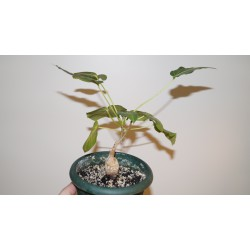 Фикус Ficus arnottiana