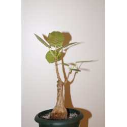 Фикус Ficus cotinifolia