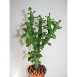 Monadenium ellenbeckii