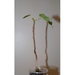 Фикус Ficus obtusifolia