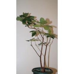 Фикус Ficus ilichina