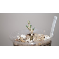 Avonia albissima