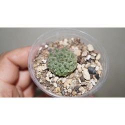 Euphorbia hybr (susannae x obesa x symmetrica)