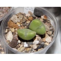 Conophytum frutesens