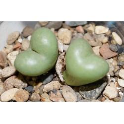 Conophytum truncatum