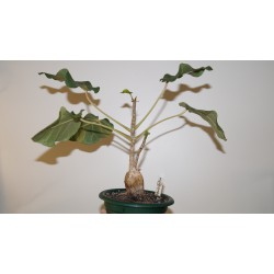 Фикус Ficus abutilifolia