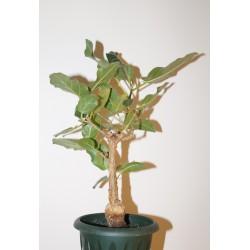 Фикус Ficus cordata