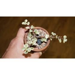 Portulacaria afra variegata бонсай 2