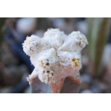 Astrophytum asterias Super White