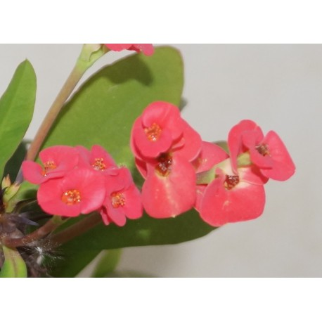 Euphorbia milii Red - Молочай Миля